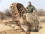 kill giraffe